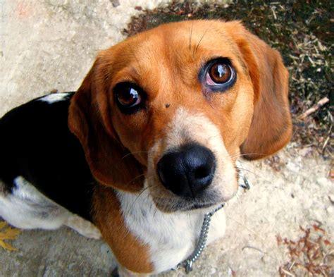 puppy eye mindless mirth puppy