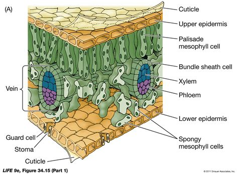 Transfer Section Of Leaf by The Eudicot Leaf Part 1 Biology Forums Gallery