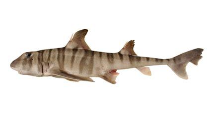 heterodontus