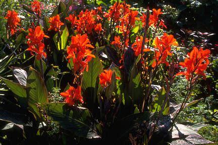 canna rhs gardening