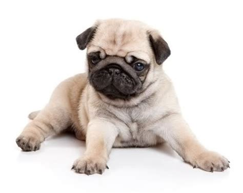 nyc pug teacup puppies for sale ny westchester ny ct