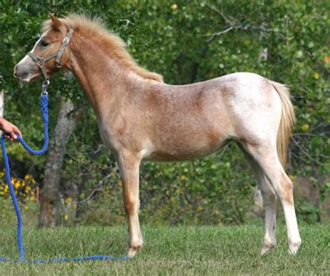 Section B Pony For Sale by Dandardel Dascha Section B Pony Filly Foal For Sale