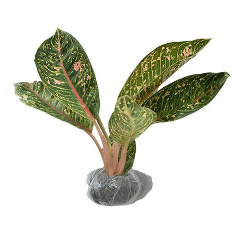 tanaman aglaonema dona carmen bibitbungacom