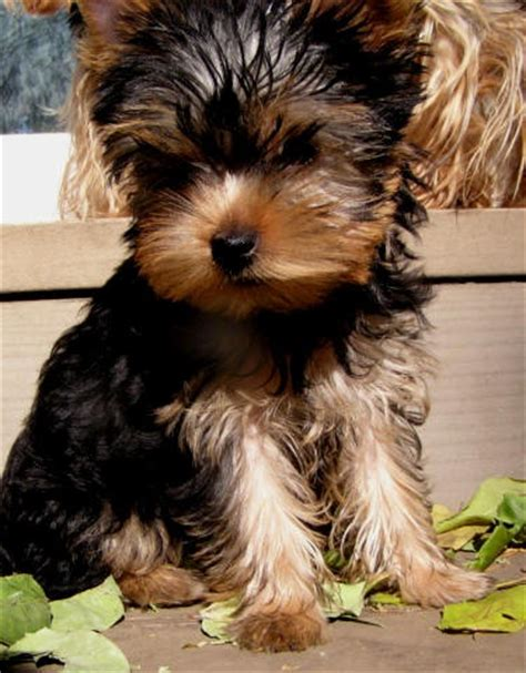 i want a yorkie puppy 17 best ideas about mini yorkie on teacup yorkie micro teacup yorkie and