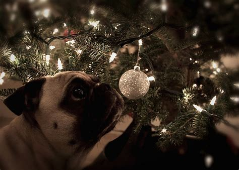 pug christmas tree safety tips for your gt puppy toob