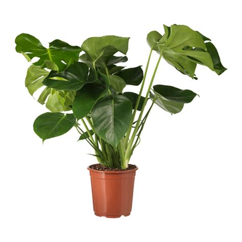vaso pianta monstera pianta da vaso ikea