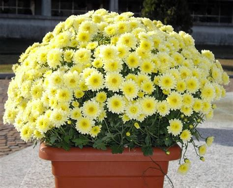 fiori invernali in vaso crisantemi fiore da balcone invernale