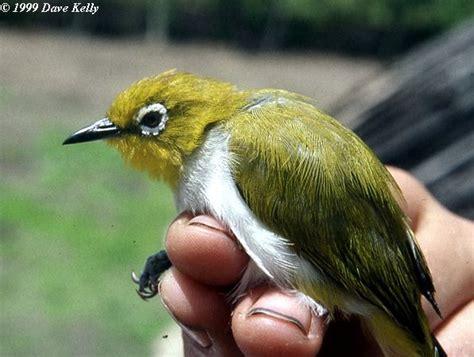 Jenis Kacamata jenis jenis burung pleci