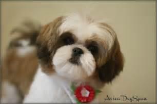 shih tzu puppy 5 months asian fusion teddy