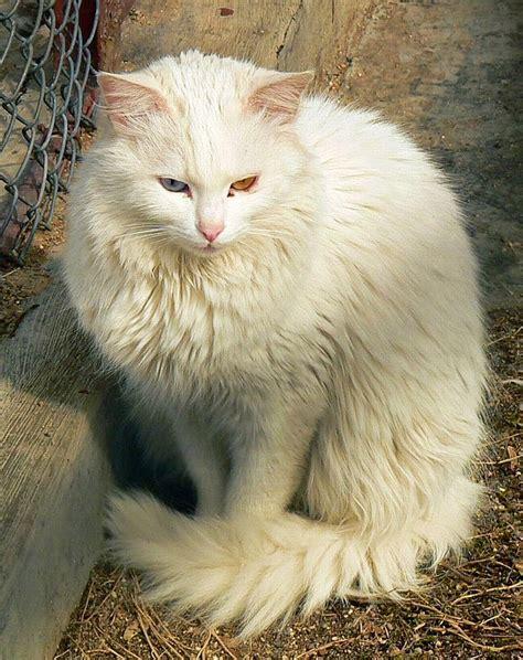 Printing Kucing gambar mengenal kucing anggora luar biasa okdogi 2 gambar