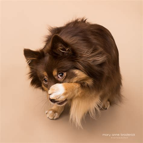 pomeranian and mini australian shepherd new jersey pet photographer ziva boxer and pomeranian mini australian shepherd