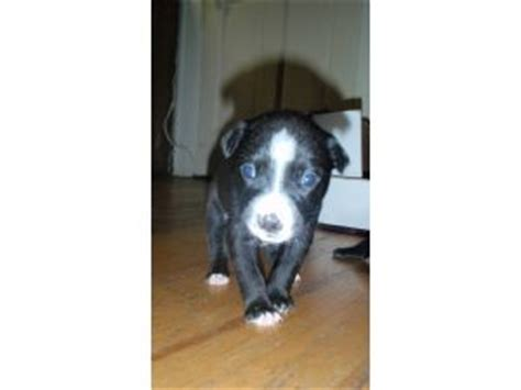 pitbull puppies for sale in knoxville tn american pit bull terrier puppies in tennessee
