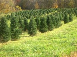 cut your own christmas tree columbus columbus ohio area tree farms choose and cut trees tree lots with pre cut
