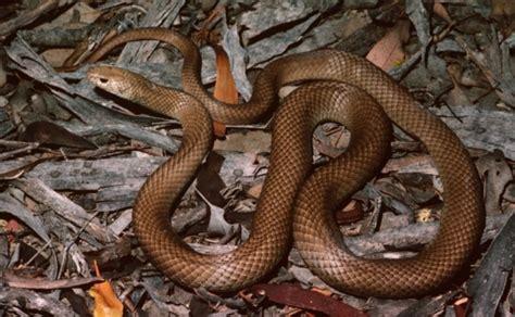 Film Ular Berbisa | lindungi anjingnya pria di australia tewas dipatuk ular