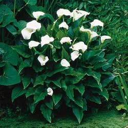 calla lily zantedeschia hybrid my garden life