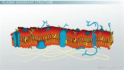 plasma membrane   cell definition function
