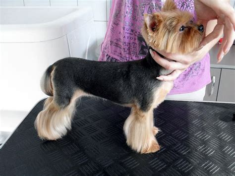 yorkies grooming learn smartly and enjoy yorkie grooming sessions