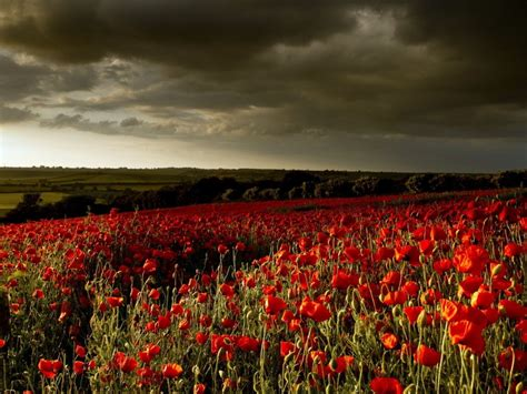 poppy field red flowers dark clouds wallpaperscom