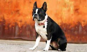 alimentazione boston terrier boston terrier il quot piccolo gentleman americano quot best5 it
