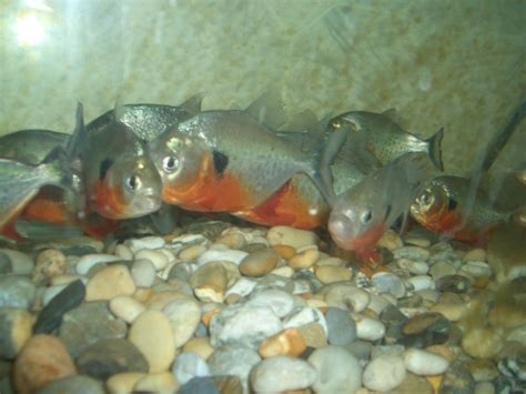 Fish For caribe piranha fish for sale ariving monday 13th nov at