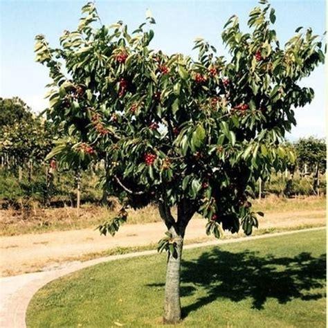 ciliegio nano in vaso alberi basso fusto alberi