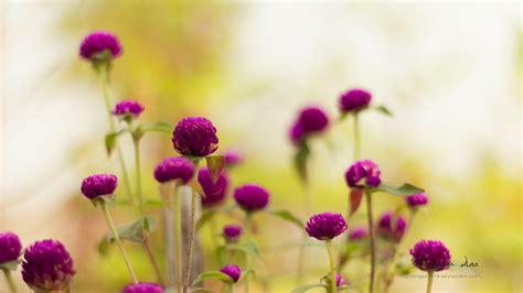 purple garden flowers wallpapers hd wallpapers id