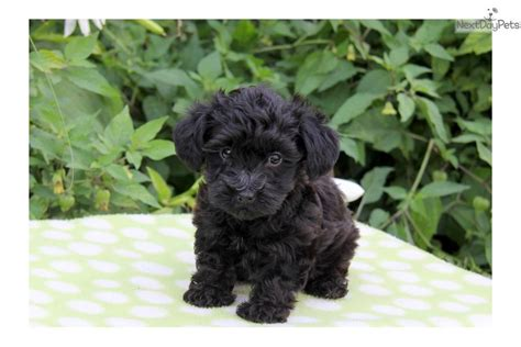 yorkie poo puppies for sale ny yorkie poo puppies for sale in ny