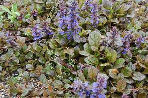 ajuga reptans braunherz landscape architect s pages