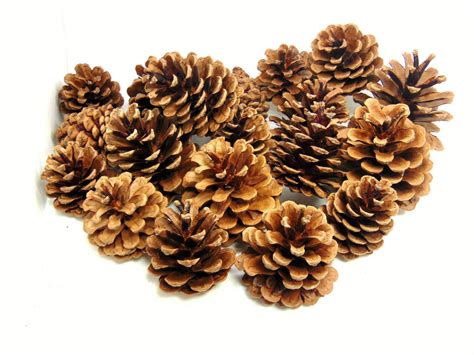 natural pine cones 4cm 8cm size quality pinecone florists