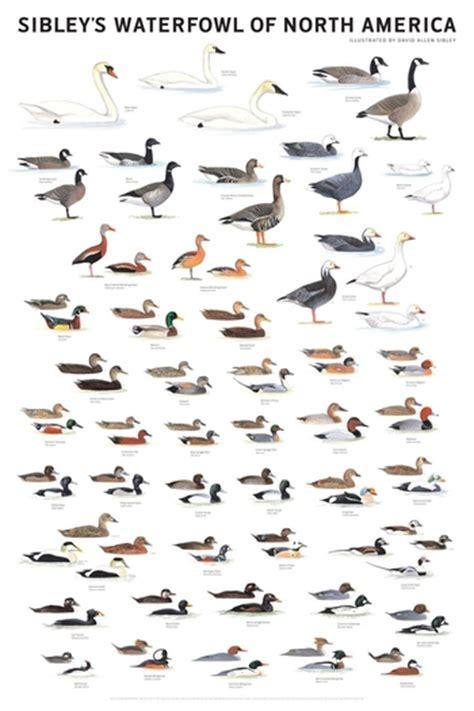 species chart american duck species