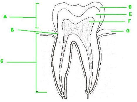 diagram of a tooth to label label the parts of the tooth proprofs quiz