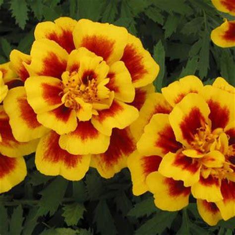 Safari Yellow by Marigold Safari Yellow Harris Seeds