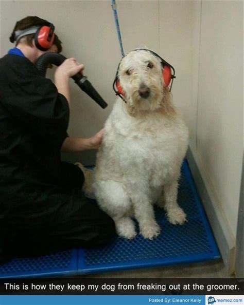 Dog Groomer Meme - dog at the groomers memes com