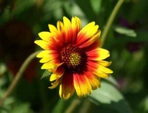pink sunflower free image peakpx 24472 royalty free flower images peakpx