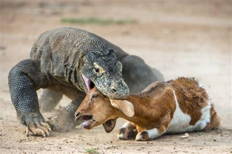 komodo dragons survive natural history