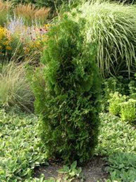 thuya occidentalis medicina integrativa ljekovite otrovne biljke narodna medicina page 4