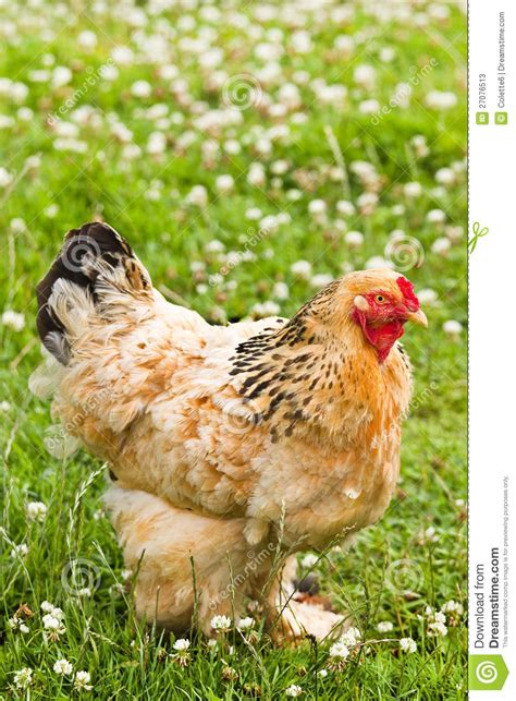 decorative chicken in field stock photos image 27076513