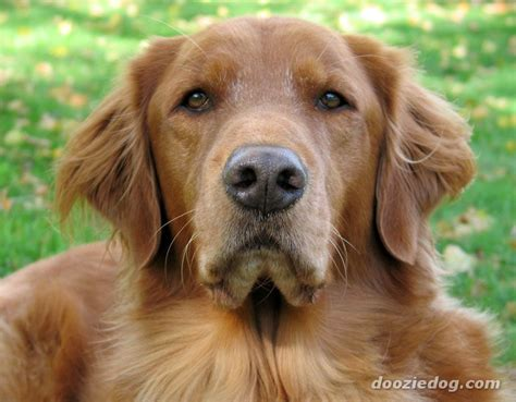 golden retriever names and meanings names 7 breeds picture