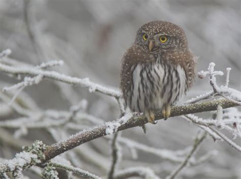 northern pygmy owl baby