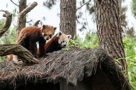 Dormir Avec Les Loups 39 by Zoo La Fleche Hebergement H Bergements Insolites Dormir