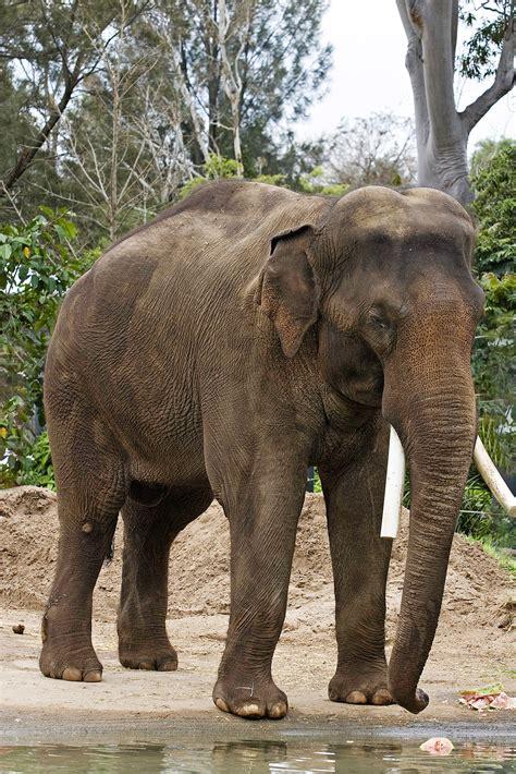 file asian elephant melbourne zoo jpg