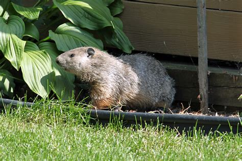 i a groundhog in backyard 28 images groundhog in