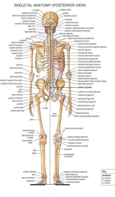 human bone diagram skeleton bone name human skeleton diagram with name of