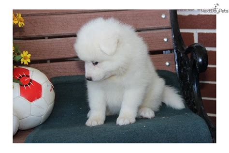 samoyed puppies near me samoyed puppy for sale near lancaster pennsylvania 6a011fa3 37a1