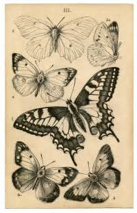 antique butterfly antique butterfly print history the graphics