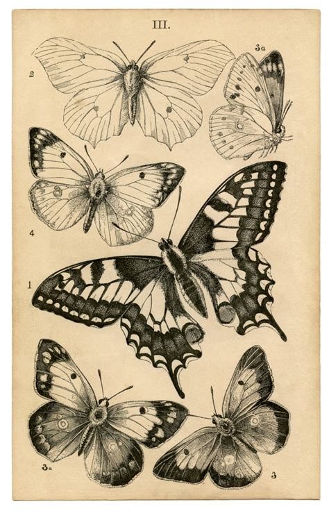 antique butterfly print natural history the graphics fairy