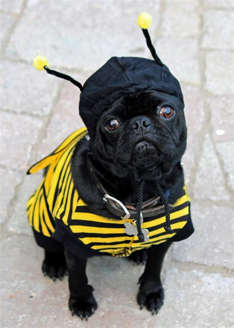 pug bumblebee costume easy pet costumes diy network made remade diy