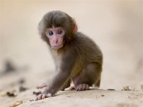 baby monkey   Google Search   BABY ANIMALS   Pinterest