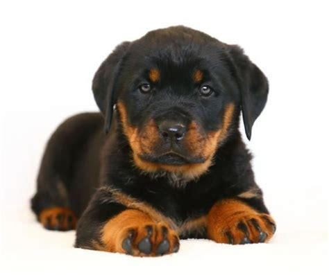 rottweiler for sale in ohio 42 best images about rottweilers on hercules pennsylvania and the tree