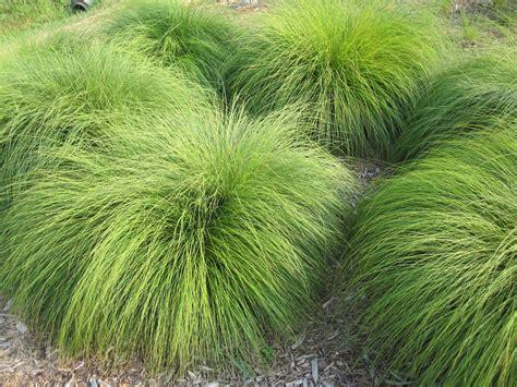 decorative grasses spell trouble  attractive
